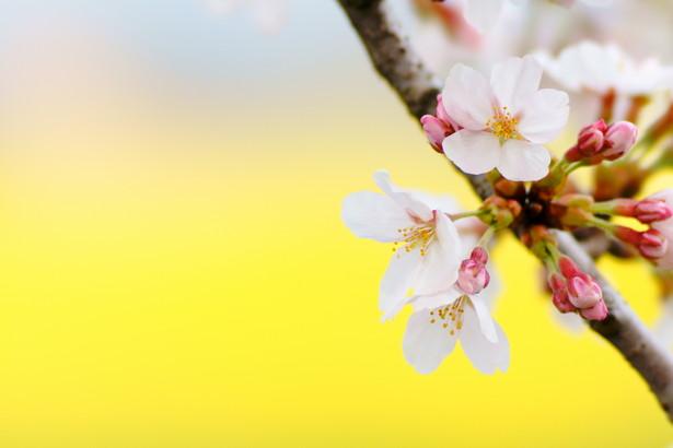 アロハシャツと季節外れの桜